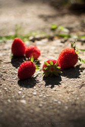 Early-morning-pick-strawberries_1-2