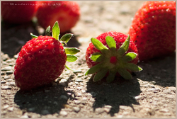 Early-morning-pick-strawberries_1-3ab