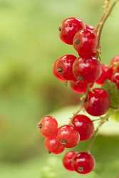 Red%20currant%20zg_1
