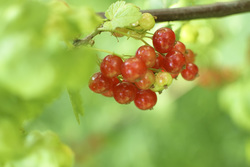 Red%20currant