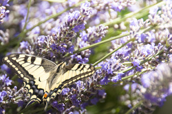 Butterfly%20on%20lavender%203%20solstice