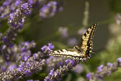 Butterfly%20on%20lavender%202