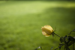 Yellow%20rose%20on%20green%20grass